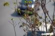 Ảnh: Hàng phong lá đỏ khô héo trong nắng thu Hà Nội, người dân hụt hẫng