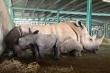 Tê giác trắng châu Phi nặng hơn 60kg vừa chào đời tại Vinpearl Safari