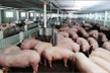Bộ trưởng NNPTNT yêu cầu doanh nghiệp giảm giá thịt lợn ngay lập tức