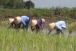 Hàng trăm phụ nữ trổ tài trong ngày hội cấy lúa ở An Giang