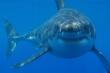 Bất ngờ với chế độ ăn của cá mập trắng  lớn