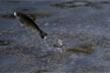 Hạn hán California, 15 triệu con cá hồi phải di cư bằng đường bộ