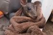 Clip: Kangaroo con may mắn được cứu sống khỏi ngọn lửa dữ ở Australia