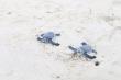 Gần 2.000 trứng rùa Côn Đảo được ấp nở ở Cù Lao Chàm