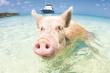 Câu chuyện về những chú lợn biết bơi ở Bahamas