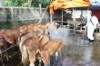 Quảng Ngãi 'xin' 20 nghìn liều vaccine để chặn dịch lở mồm long móng