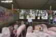 Chợ đầu mối vắng vẻ, thương lái đem lợn đến lại mang về