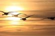 Tại sao loài chim di cư luôn bay đúng đường?