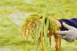 Nông dân Đà Nẵng rớt nước mắt nhìn lúa nảy mầm trắng ruộng