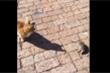 Video: Chuột giả chết để thoát khỏi nanh vuốt mèo