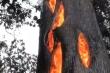 Kỳ lạ: Thân cây lớn cháy rực từ bên trong