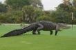 Video: Cá sấu khổng lồ xuất hiện trong sân tập bóng đá, cầu thủ phát hoảng