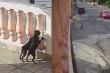 Chú chó bị bạn đẩy ngã vì tội hóng hớt