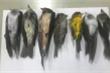 Mỹ điều tra cái chết bí ẩn của hàng trăm nghìn con chim di cư