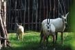 Hành trình khôn lớn của các loài thú quý từ lúc chào đời ở Vinpearl Safari