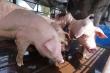 Tại sao thịt lợn không thể thiếu ngoài gà, cá, bò...?