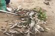 Cá chết trắng kênh ở Đà Nẵng