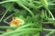 Mỹ tiêu hủy cây bí đao trồng từ hạt giống Trung Quốc