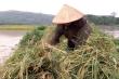 Vỡ đập ở Phú Thọ: Người dân lội nước cao đến cổ để cứu lúa