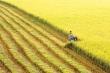 Việt Nam có thể vượt Thái Lan, chiếm 'ngôi' xuất khẩu gạo thứ 2 thế giới