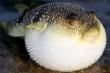 Đà Nẵng sắp chế biến xuất khẩu loại cá 'tử thần'