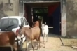 Video: Ấn Độ tống giam 8 con lừa vì ăn cây đắt tiền