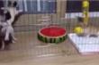 Clip: Mèo con làm 2 chú chó sợ cuống cuồng