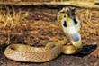 Loài rắn trên cạn có nọc độc nhất ở Việt Nam