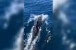 Clip: Khoảnh khắc 200 con cá heo 'nhảy múa' ở biển Phú Yên
