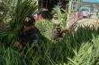 Hoa Tết ế ẩm, chính quyền địa phương kêu gọi 'giải cứu' cho nông dân