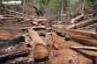 Cận cảnh cánh rừng cổ thụ bị lâm tặc đốn hạ ở Gia Lai