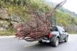 Chặt đào rừng chưng Tết: Thú vui nhất thời tàn phá thiên nhiên