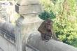 Khỉ mặt đỏ dính bẫy đứt lìa chân, Đà Nẵng kiến nghị trang bị súng, đạn gây mê