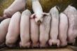 Nông dân Trung Quốc được thế chấp lợn để vay ngân hàng