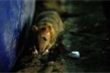 Giữa mùa COVID-19, chuộtMỹ 'nổi điên, hung hăng', sẵn sàng giết đồng loại