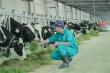 Bò sữa tại Resort của Vinamilk cũng… 'ăn Tết'