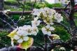 Hoa lê rừng Tây Bắc khoe sắc trắng tinh khôi giữa Thủ đô
