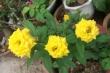 Kinh nghiệm trồng hoa hồng 10 cây đẹp cả 10 của mẹ bỉm sữa ở Đồng Nai