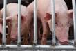 8 doanh nghiệp Việt sẽ nhập khẩu gần 2 triệu con lợn sống từ Thái Lan