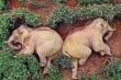 Sự thật bức ảnh cặp voi uống 30 lít rượu, ngủ gục trên đồi chè