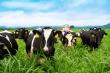 Sữa tươi chất lượng cao vượt trội - thành quả mới từ trang trại bò sữa NutiMilk