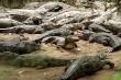 Công viên cá sấu lớn nhất Ấn Độ lập kênh Youtube kiếm tiền nuôi hơn 2.000 con