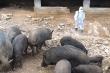 Dịch tả lợn châu Phi tái bùng phát ở Lào Cai