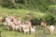 Đàn bò hợp sức đánh bại hàng chục con kền kền