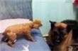 Chó nhỏ hổ báo bị chó to dằn mặt