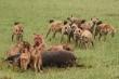 Video: Đàn linh cẩu liều lĩnh giành mồi với bầy sư tử