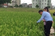 Thương mại hóa giống lúa Hương Cốm
