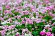 Video: Lễ hội hoa tam giác mạch Hà Giang lần thứ VI