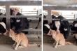 Clip chú mèo được cả đàn bò 'hôn hít' khiến dân mạng cười nghiêng ngả