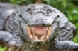 Cặp cá sấu đực quyết chiến ác liệt trước cửa nhà dân